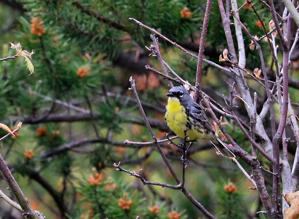 small yellow and gray warbler sits on branch of Jack Pine tree