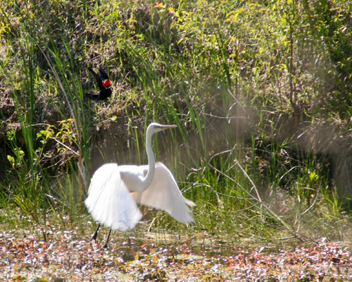 Egret on the side of the swamp