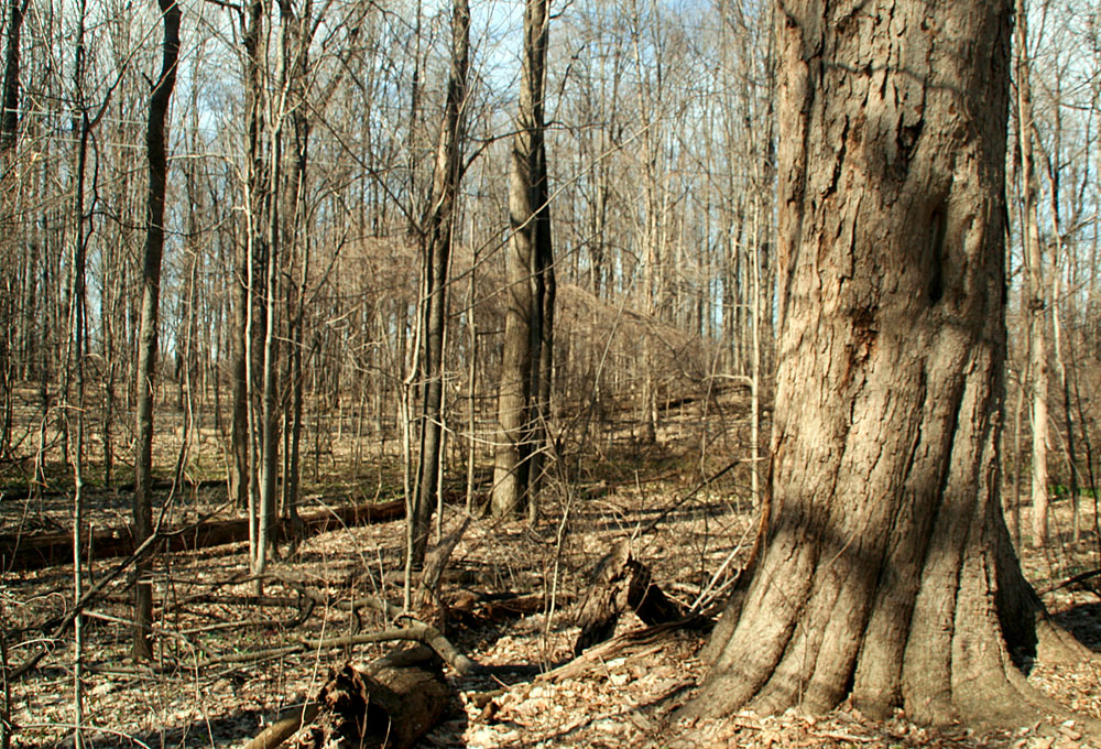 Spring view of trees in Miller Woods
