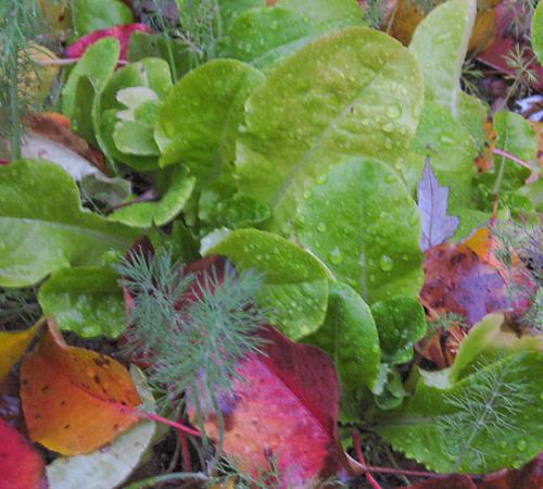 Lettuce growing amongst the fall leaves