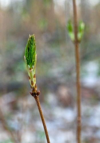 Tree leaf bud ready to open