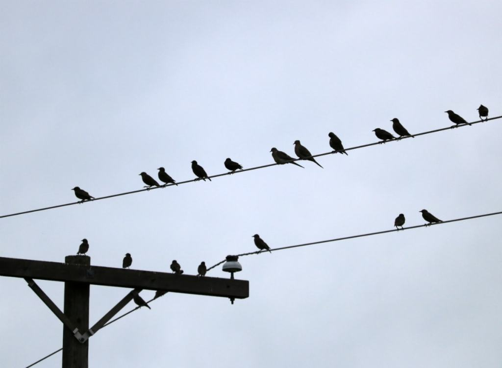 Birds sitting on two sets of parallel phone wires