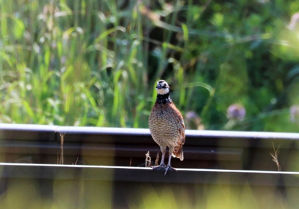 rusty brown speckled bird with white face, black throat perches on railroad track.