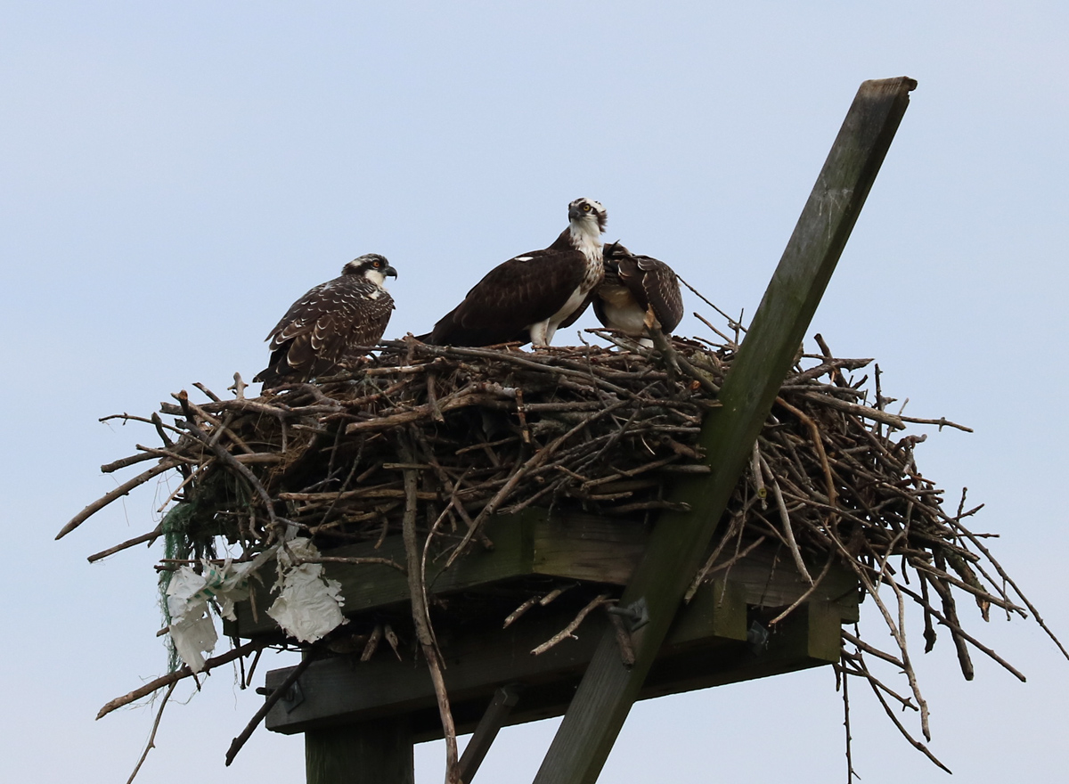 Two white-faced adult Osprey and an Osprey check sit atop a nest of sticks and mud on a platform.