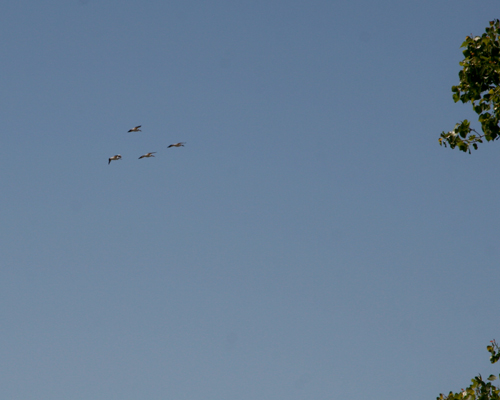 Pelicans flying over Magee Marsh