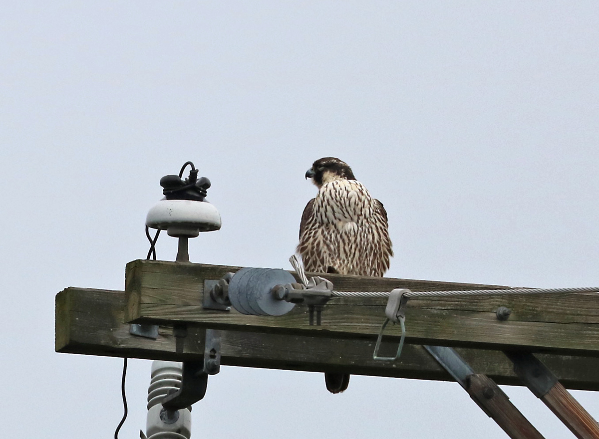 brown and white falcon with streaked breast sits on a utility pole.