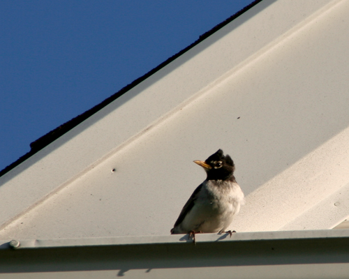 Black and white American Robin sits on rooftop.