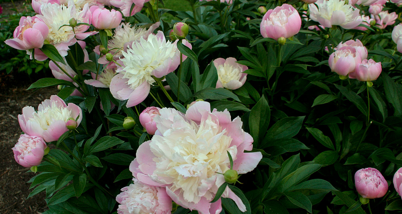 pink peonies blooming at the Peony Garden in Nichols Arboretum
