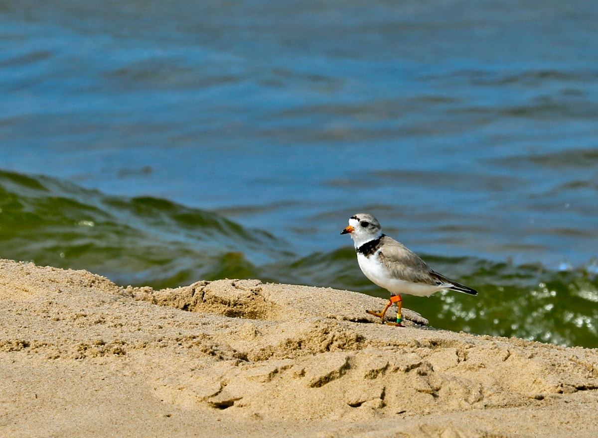 small shorebird with narrow black band around neck, black-tipped orange bill sits on sand next to Lake Michigan