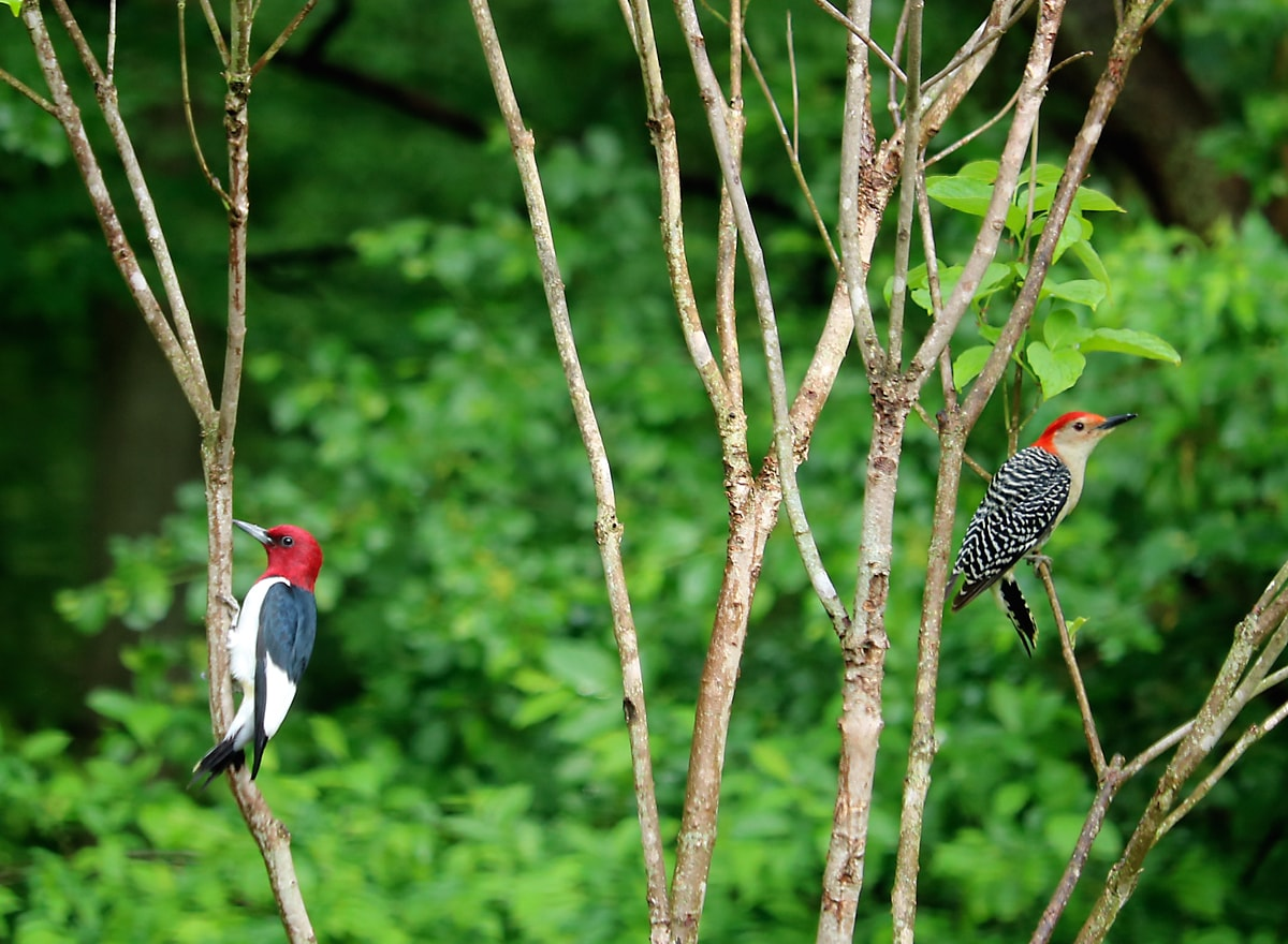 red-headed woodpecker and red-bellied woodpecker perched on the branches of a small tree, facing away from each other