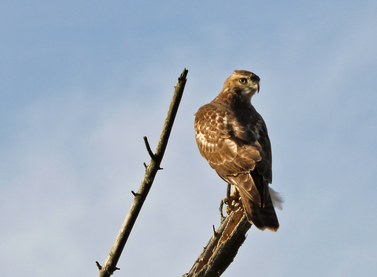 brown and white hawk perched on the end of bare branch, blue sky in background.