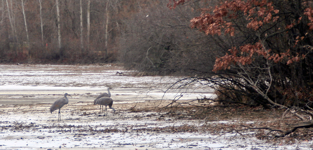 Sandhill cranes searching for food along shoreline of Kensington Lake