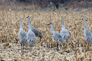 Four Sandhill Cranes in a cornfield, grazing