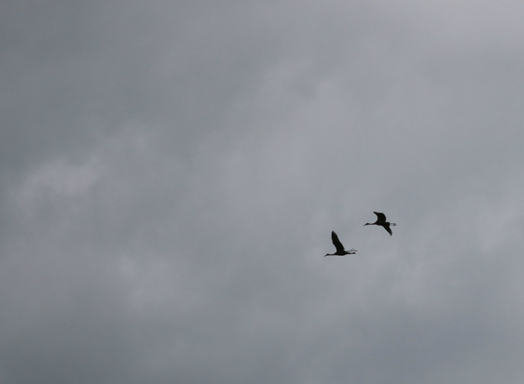 two Sandhill Cranes in flight, silhouetted against the gray and white sky