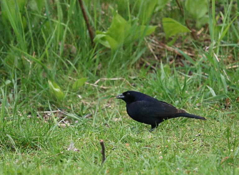 Shiny Cowbird walks along the green grass, pecking for food.