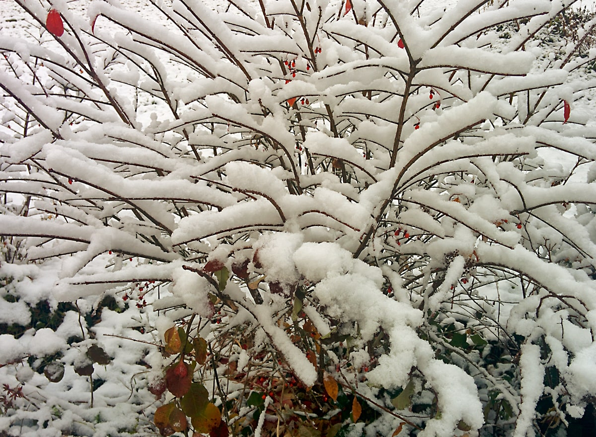 snow drapes elegantly over bare arching shrub branches