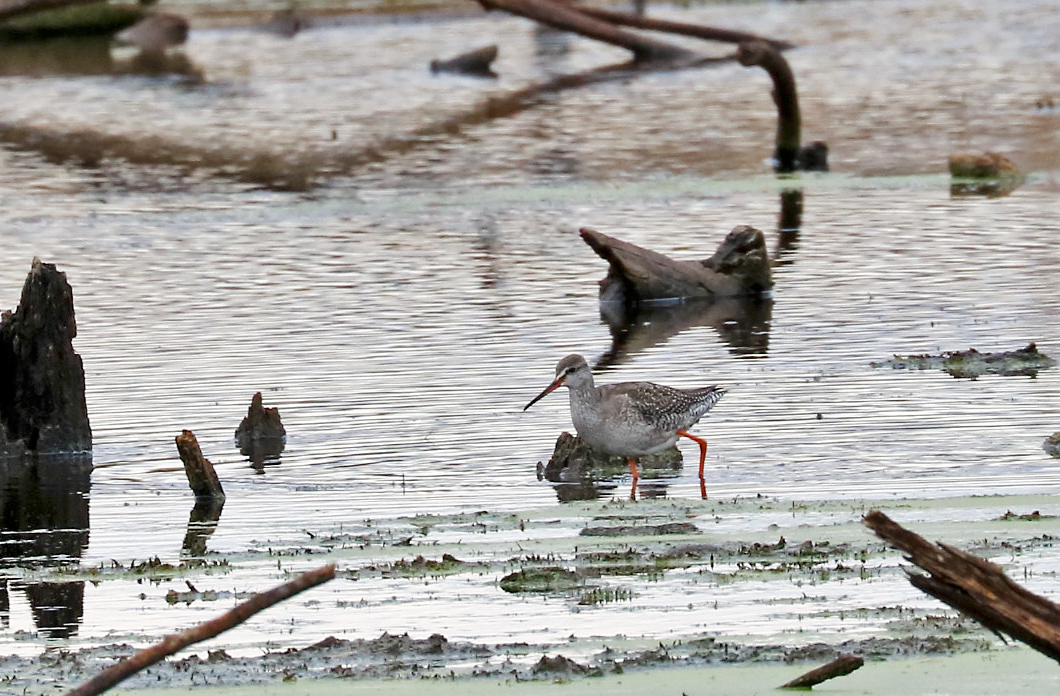 brown waterbird with bright pink legs steps through the marsh.