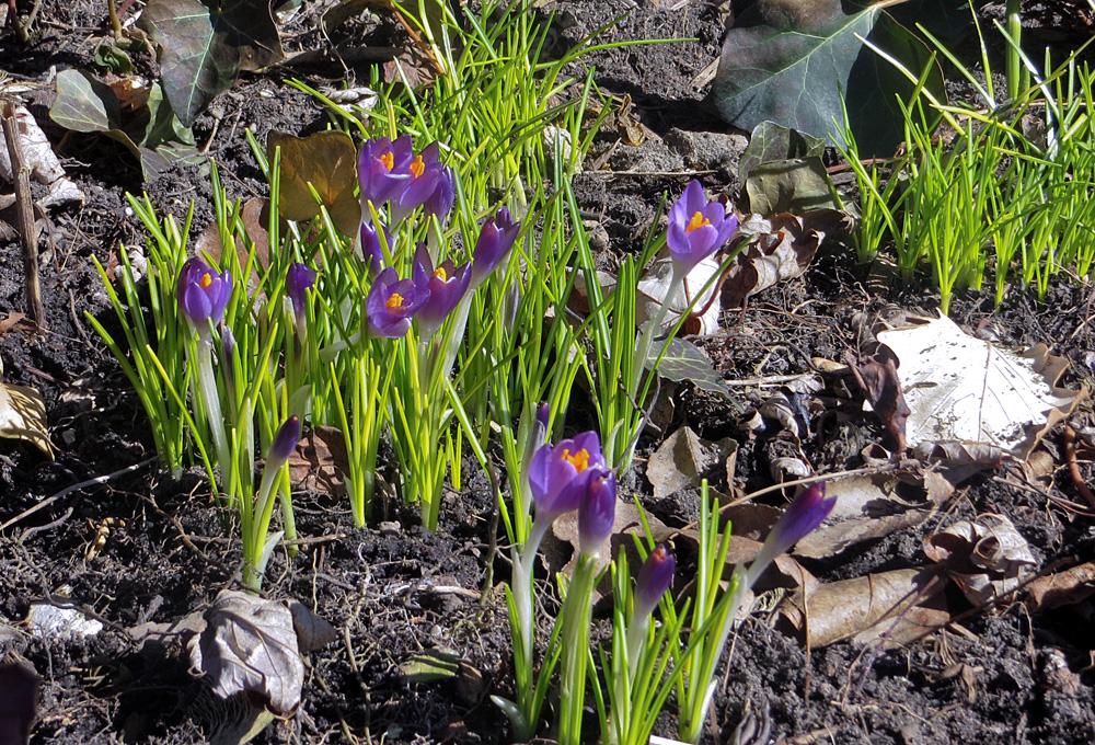 Purple spring crocuses in bloom