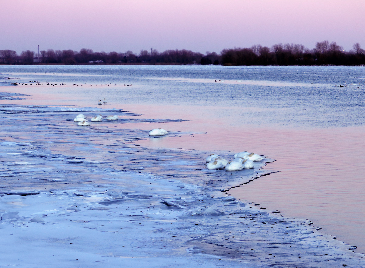 groups of swans gather on the blue ice sheets near pink river water reflecting the sunset