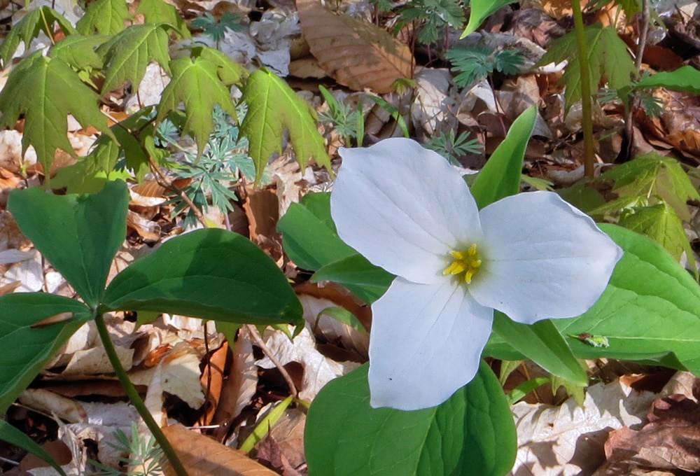 White Trillium in bloom