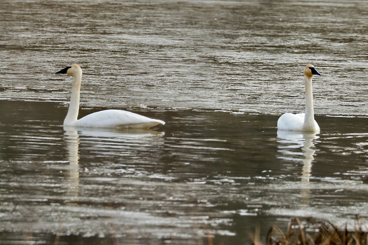 black-billed white swans swimming in the open water.