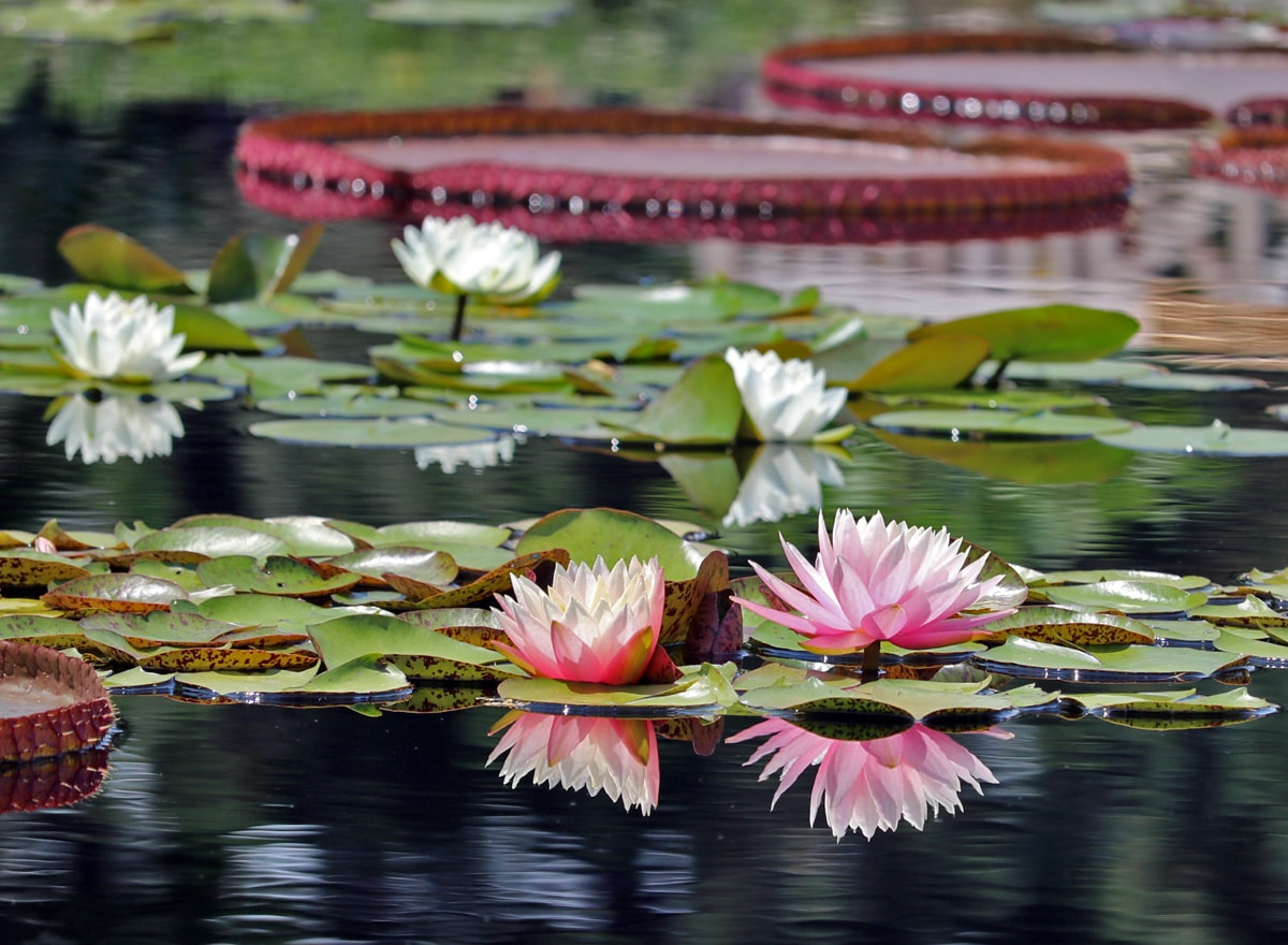 pink and white water lilies in bloom
