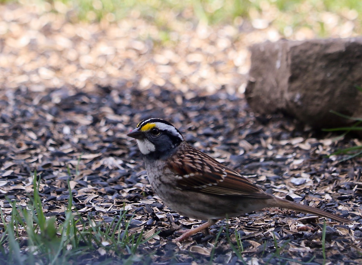 White-throated sparrow with brown wings and grayish breast walks through wood mulch and grass
