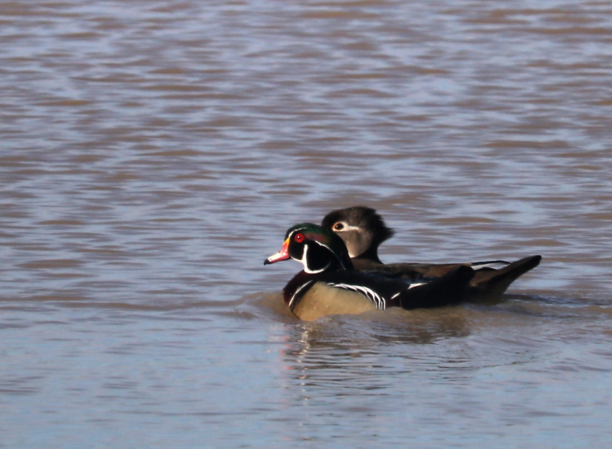 brightly colored white, red, brown, black, and green male Wood Duck and his rather drab mate in her brownish plumage