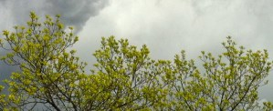 Tree branches on gray sky