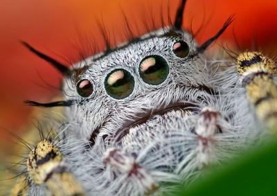 Adult Female Phidippus mystaceus Jumping Spider, photo credit Thomas Shahan