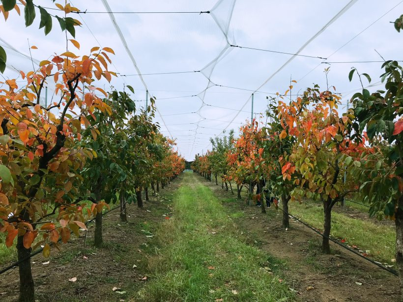 最Hit摘柿子果園 | Sydney近郊 | 假期好去處 | Cedar Creek Orchard - LisBaby