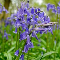 The Enchanted Wood - Bluebells at Rutland Water