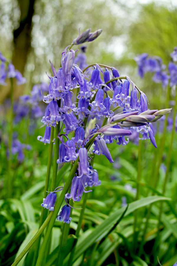 bluebell-close-up