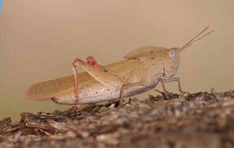 Gum Leaf Grasshopper