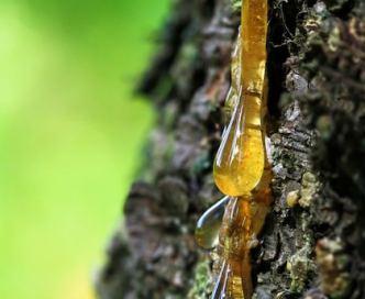 L'ambre est la résine d'un conifère de l'ère tertiaire fossilisée depuis 50 millions d'années