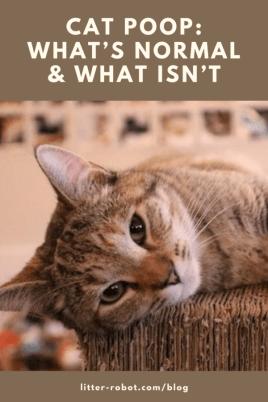 tan tabby cat lying on wicker - cat poop: what's normal
