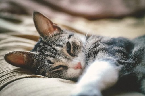 Brown tabby cat lying sleepily on bed - cat behavior after surgery