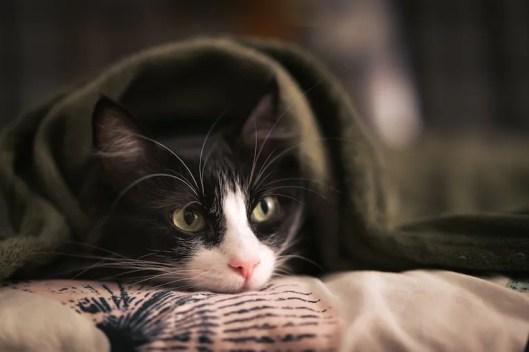 Tuxedo cat hiding under a blanket - cat behavior after surgery