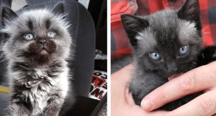 two fever coat cat kittens