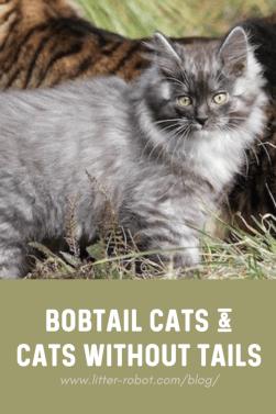 Grey Kurilian Bobtail kitten - bobtail cats and cats without tails