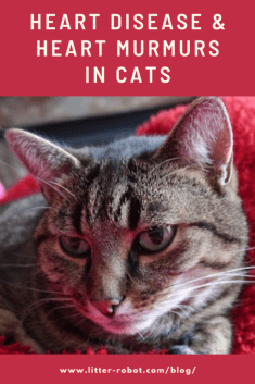 tabby cat on red blanket - heart disease and heart murmurs in cats