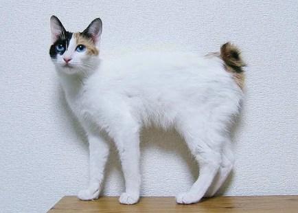 Gato bobtail japonés - gatos bobtail