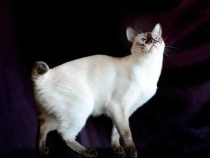 Gato Bobtail del Mekong - gatos bobtail