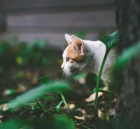 Gato naranja y blanco acechando en la hierba