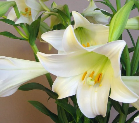 Easter lilies - plants toxic to cats