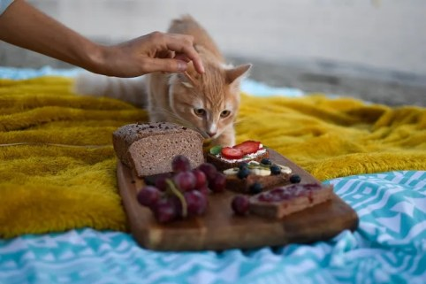 Orange tabby cat next to cutting board with bread, grapes, and jelly - can cats eat grapes?