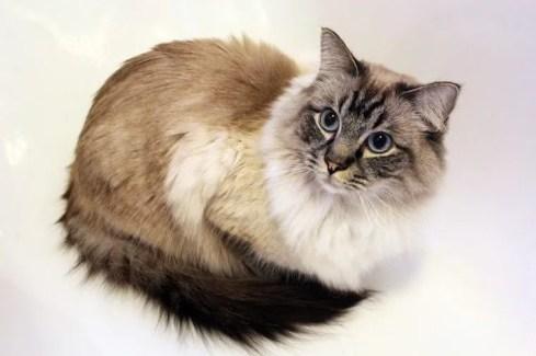 Gato ragdoll - razas de gatos colorpoint