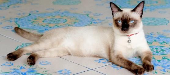 Gato siamés - razas de gatos colorpoint