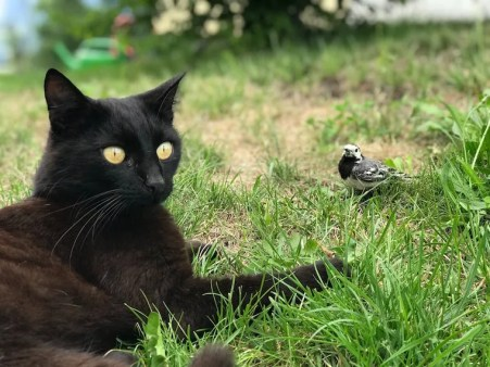 Black cat outside on the grass next to a bird - can cats get salmonella from raw meat or wildlife?
