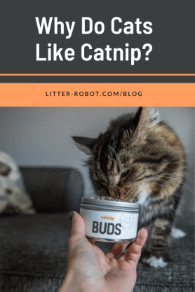 Maine Coon cat sniffing catnip buds - why do cats like catnip?